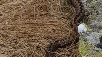 Salvamontiştii avertizează – Viperele sunt mai vizibile în această perioadă
